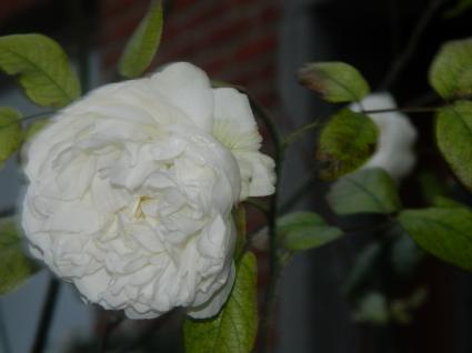 rose bl.png