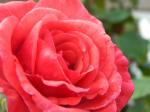 rose rou.png